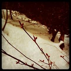 春を待つ ~クロモジの冬芽