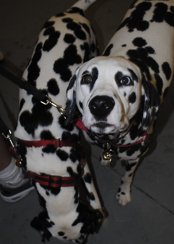 Dalmations As Pets. Pet Expo dalmations