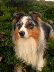 Deko (Kalia-l0ve) Tags: chien shepherd australien aussie bergeraustralien
