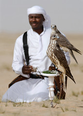 (sahoodvich) Tags: life wild bird birds animal sport canon fly hunting flight arab falcon kuwait ibrahim  khaled   q8             barlin     arbian     gyer             sahoodi   alsahood sahoodvich   alhawedi