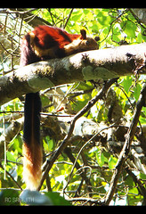Malabar Giant Squrriel (RC Sreejith | ) Tags: kerala rarespecies ratufaindica malabargiantsquirrel sreejithrc rcsreejith wayandwildlife