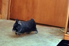always the speed bunny....Max (sensitivebunnyguy) Tags: bunnies lopear furryfriends houserabbits netherlanddwarf cutebunnyphotos