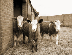 We Three Cows (teelawn) Tags: bw sepia barn geotagged cows country calf heffer cowshed nikond300 teelawn hereforedcross tinabarker