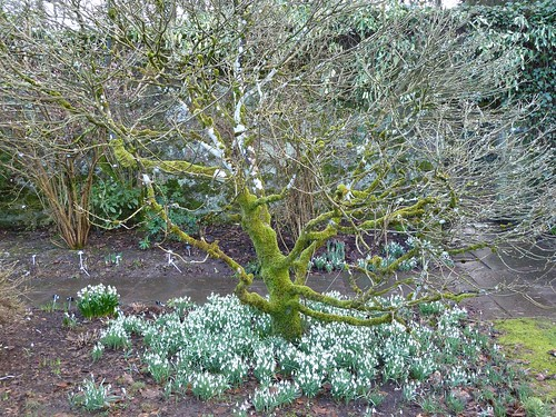 Snowdrops in Spring at Greenbank