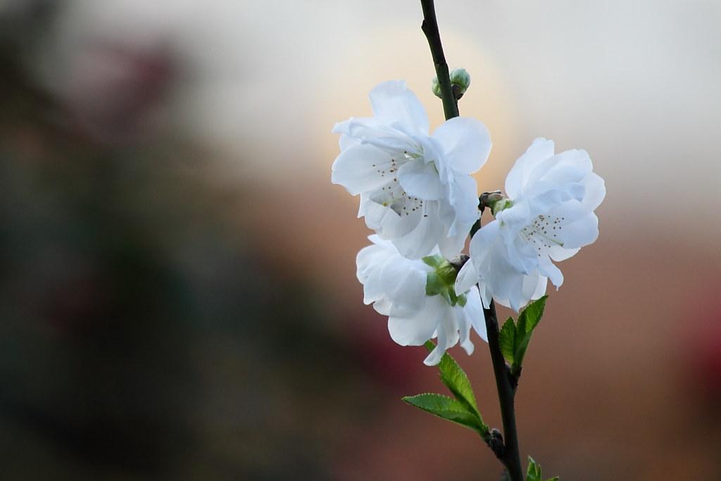 新北市~北新庄~天元宮~~櫻花