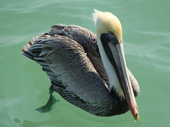 Brown Pelican (Gini1985) Tags: ocean park sea brown verde bird de paradise all florida fort pelican soto natures seabird tierra mygearandme mygearandmepremium mygearandmebronze mygearandmesilver mygearandmegold allnaturesparadise rememberthatmomentlevel1