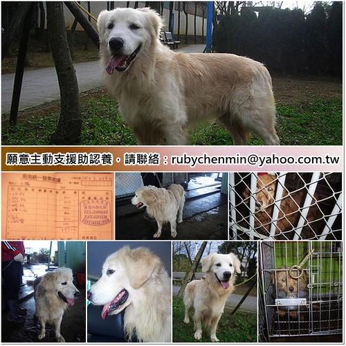 「支援助認養」台北從鶯歌收容所救出的兩隻黃金獵犬一隻瑪爾中犬瘟,需要醫療支援助認養,謝謝您,20110227