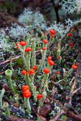 Fungi or Lichen