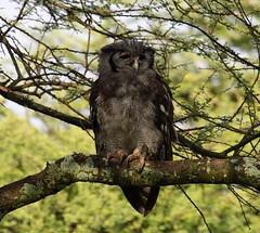 Verreaux's Eagle Owl - Bubo lacteus (az3) Tags: owl eastafrica ndutu tanzania africalifer