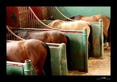 Une histoire de fesses (Yolanda Miel) Tags: horse france cheval chevaux haras curie padock poneyclub croupe colevtrinaire mygearandme