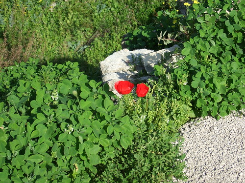 Poppies in Byblos