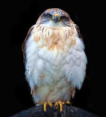 Ferruginous Hawk (EXPLORE) (Steve Wilson -