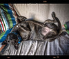 chilaxin' (by Ophelia photos) Tags: dog pet color marseille upsidedown inside staffie hdr 4exp chillingrelax