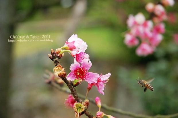 2011陽明山花季22.jpg
