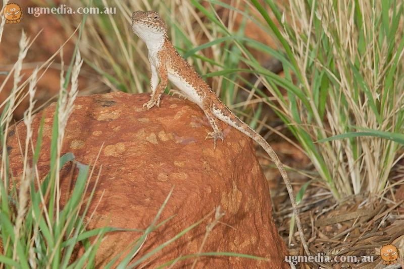 Centralian earless dragon (Tympanocryptis centralis)