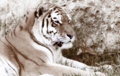 Tiger (Panthera tigris) (PuffinArt) Tags: animal sepia nikon feline tiger bigcat felino puffinart nikkor wildcat captive tigre vr captivity dashofcolor d300 pantheratigris cativeiro 18200mm vandamalvig softlook etherealeffect