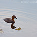 The Little Grebe (Tachybaptus ruficollis)