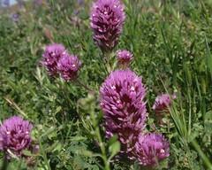 Owls Clover 02 (Tom Hilton) Tags: color wildflowers castilleja castillejaexserta orobanchaceae windwolvespreserve
