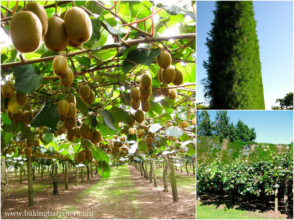 Агротехника Киви как выращивать