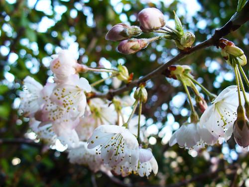 Paddock Café :: 一足早く、さくらんぼの花が咲きました