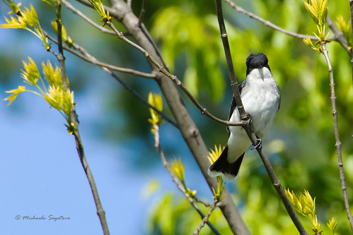 _53F1732 Eastern Kingbird