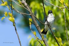 _53F1732 Eastern Kingbird (~ Michaela Sagatova ~) Tags: bird nature wildlife dundas flycatcher easternkingbird tyrannustyrannus birdphotography dvca michaelasagatova