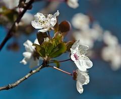 Benvenuta, primavera! /Welcome, spring! (Fil.ippo) Tags: flowers primavera spring fiori filippo springtime sooc d5000 marzo2011challengewinnercontest