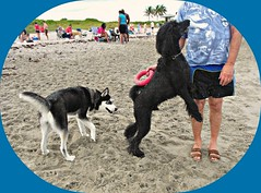 Midnight's Red Ring (Midnight and me) Tags: beach dogs sand husky palmtrees poodle midnight anticipation dogbeach southflorida beachscene standardpoodle dogsonthebeach blackstandardpoodle midnightandme theredring