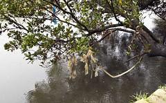 Mangrove Tree (phillipdumoulin) Tags: parramatta sydney australia nsw westsydney westernsuburbs suburbs bird plastic pollution river heron striatedheron butoridesstriatus mangrove parramattariver water waterpollution litter humanlitter