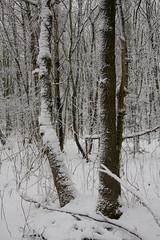 ckuchem-1628 (christine_kuchem) Tags: baumrinde buche bume eiche eis frost hainbuche natur pfad pflanzen ruhe samen spuren stille struktur wald weg wildpflanzen winter einsam kalt schnee ste