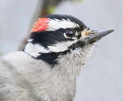 Downy Woodpecker. Lake Sammamish, Washington State