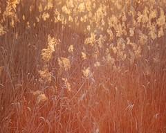 Ultimi colori d'estate (guemat_123) Tags: tramonto estate fine erba giallo rosso wwf oro bolognese pianura oasi secca bentivoglio