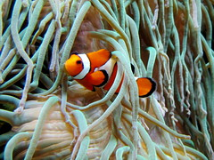Nemo / Rhenen (rob4xs) Tags: aquarium nemo rhenen ouwehands ouwehandsdierenpark amphiprionocellaris driebandanemoonvis