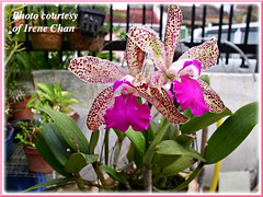 Cattleya amethystoglossa (Amethyst-lipped Cattleya), flowering in a friend's garden