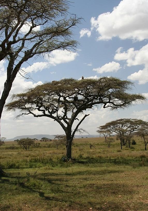 baboon trees!