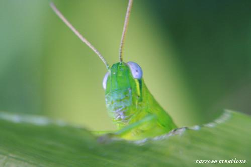 31.01.11 Macro Grasshopper
