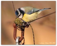 Blue tit on a wire (zweiblumen) Tags: uk england bird nature wildlife staffordshire bluetit picnik cyanistescaeruleus paridae canoneos50d aqualatemere zweiblumen sigma150500mm canon430exii carlsbirdclub