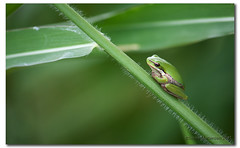 When green is all there is to be,...... (danishpm) Tags: cute green nature grass canon bokeh kitlens australia frog nsw aussie amphibians aus treefrog manfrotto greentreefrog murwillumbah eos450d 450d 55250mm tweedshire sorenmartensen
