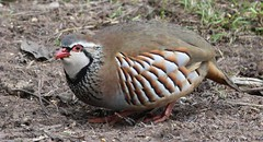 Red Legged Partridge (Louise Morris (looloobey)) Tags: hide redleggedpartridge alectorisrufa january2011