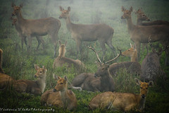 Oh Deer! (viwehei) Tags: cute animal animals fog fauna nationalpark asia safari rhinos elephants kaziranga