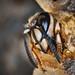 Guepe vespula vulgaris