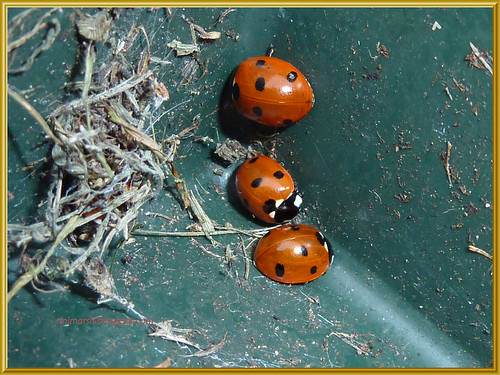 Seven Spot Ladybirds