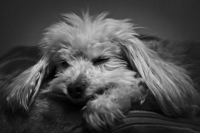 036/365 - February 5, 2011 - Canine Slumber