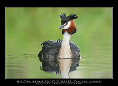 Australasian Crested Grebe & Chick (truubloo) Tags: newzealand lake bird birds island photography back jonathan south great young chick alpine crested australis grebe australasian harrod podiceps cristatus