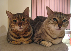 two bengals on a furry bench