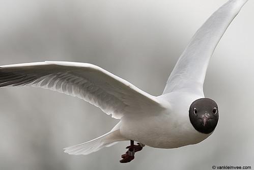 Black-headed Gull, >3cy, W[E0CU]
