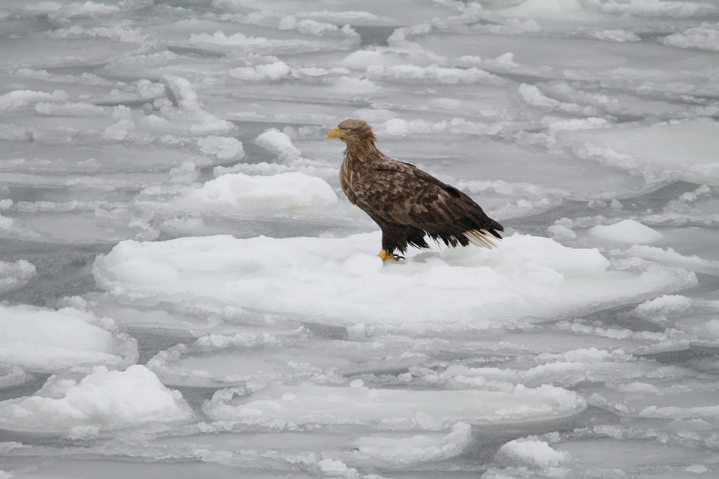 White-tailed Eagle on the drift ice
