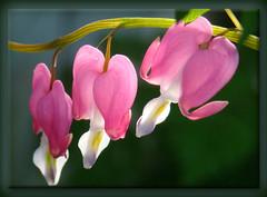 Bleeding Hearts (artistgal) Tags: pink flowers light shadow backlight hearts tag2 tag1 heart framed backlit bleedinghearts gamewinner masterphotos pregamewinner