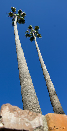 Downey palm trees