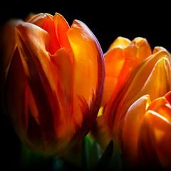 il colore dell'emozione (* onda *) Tags: light orange energy tulips emotion